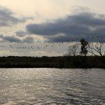 Das Ufer der Reglitza kurz vor Stettin - ein paar Kormorane fliegen über die sich herbstlich färbenden Büsche